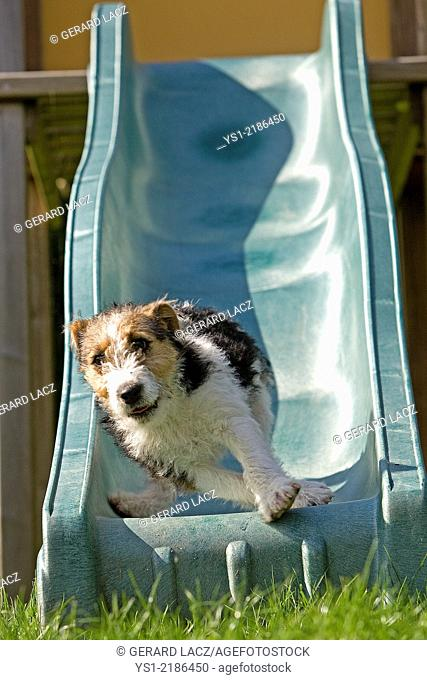 Wire-Haired Fox Terrier Pup, Dog Playing on Slide