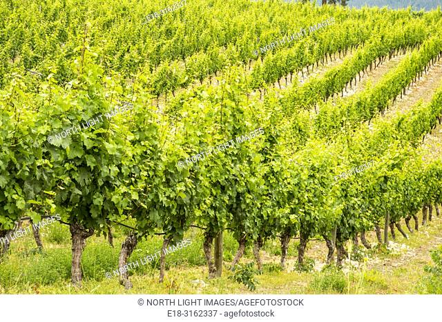 Canada, BC, Oliver. Orderly lines of grapevines in the Okanagan Valley, BC's premier wine making region