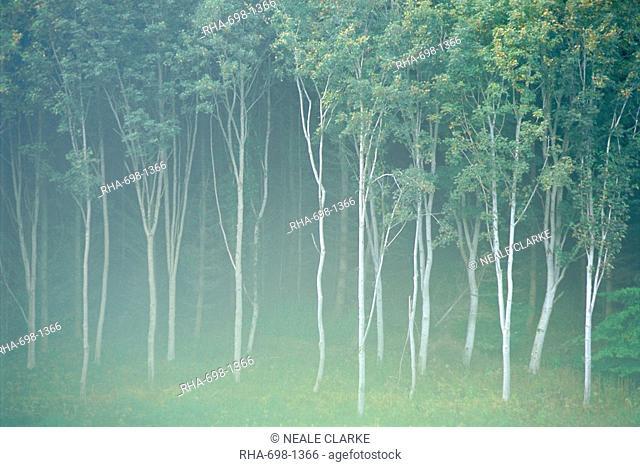 Silver birch trees near Contin, Highlands Region, Scotland, UK, Europe