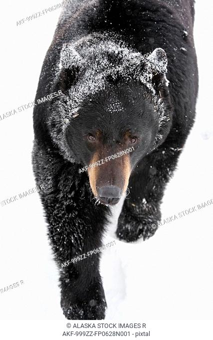 CAPTIVE: High angle view of a large Black Bear walking in snow and glances upward, Alaska Wildlife Conservation Center, Southcentral Alaska, Winter