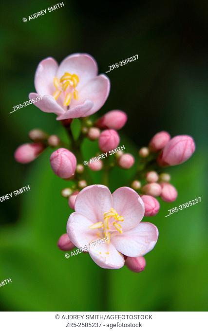 Two blooms and a contingent of unopened buds of pink jatropha (Jatropha integerrima) form a cluster against a green leaf background, Florida, USA