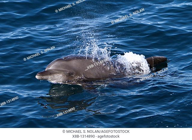 Offshore type bottlenose dolphins Tursiops truncatus surfacing in the midriff region of the Gulf of California Sea of Cortez, Baja California Norte, Mexico