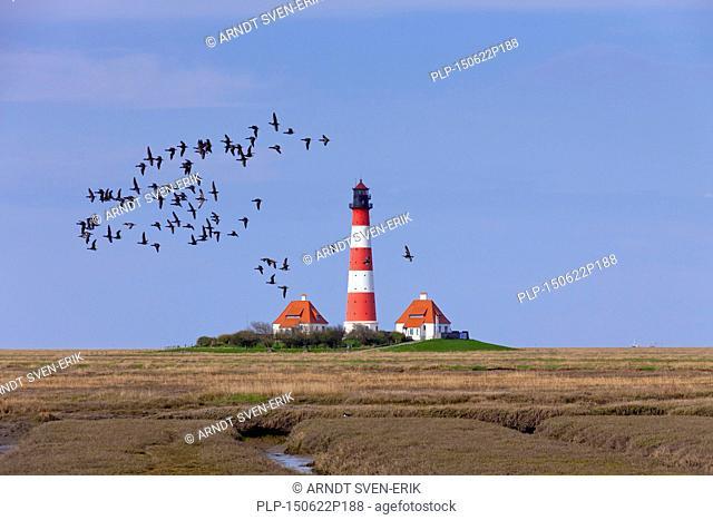 Flock of barnacle geese (Branta leucopsis) and brant / brent geese (Branta bernicla) flying over the lighthouse Westerheversand at Westerhever