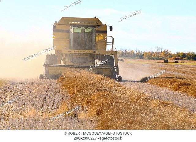 A front view of a combine harvester processing raw wheat growing in a farm field in rural Alberta Canada