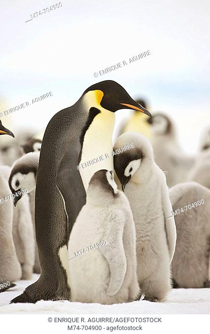 Emperor Penguin Aptenodytes forsteri with chicks at Snow Hill Island, Weddel Sea, Antarctica