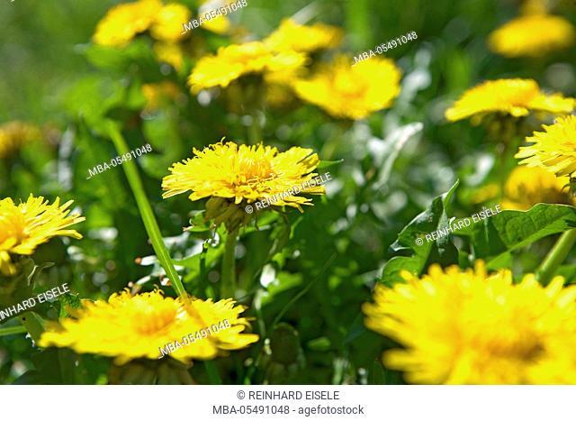 Summer meadow with dandelion