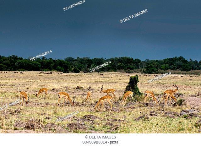 Impala (Aepyceros melampus), Maasai Mara National Reserve, Rift Valley, Kenya, Africa