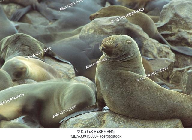 South African sea-bears, Arctocephalus pusillus, stones, resting, dwarf-sea-bears, Africa, southwest-Africa, Namibia, Namib, Atlantic-coast, skeleton-coast