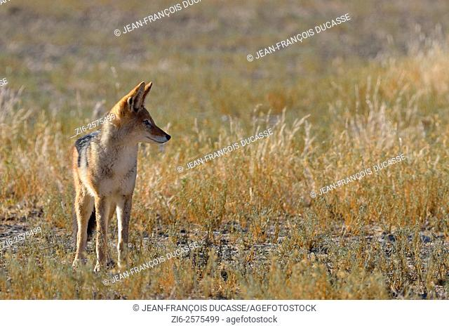 Black-backed jackal (Canis mesomelas), standing in the morning light, Kgalagadi Transfrontier Park, Northern Cape, South Africa, Africa