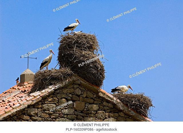 White storks (Ciconia ciconia) nesting on roof of old church in village, Spain