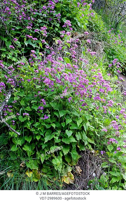 Annual honesty (Lunaria annua) is an annual herb native to Balkans but naturalized in more temperate regions of the world