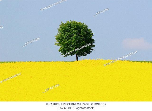 Rape, Brassica napus, Raps, tree standing in field of Rape, spring time, spring, Uster, Zuercher Oberland, Zuerich, Switzerland