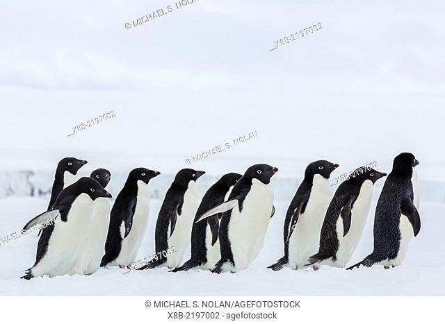 Adult Adélie penguins, Pygoscelis adeliae, walking on first year sea ice in Active Sound, Weddell Sea, Antarctica
