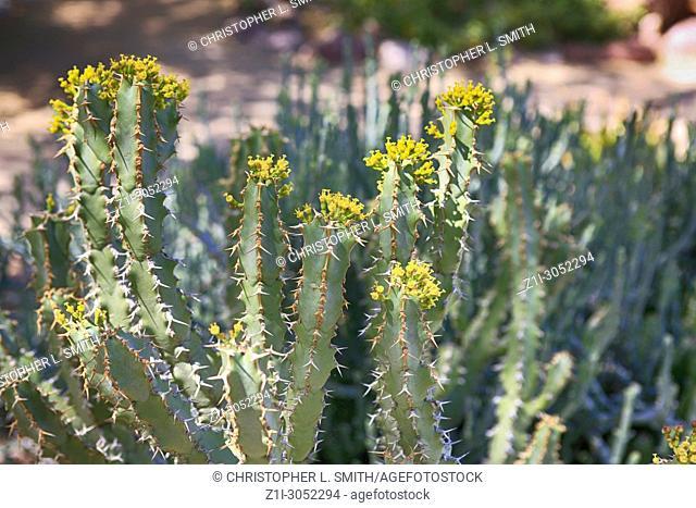 Yellow flowering desert Rose cactus of South Africa
