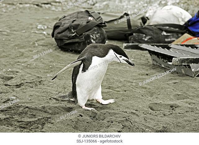 Chinstrap Penguin - standing in sand / Pygoscelis antarcticus