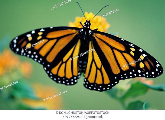 Monarch butterfly (Danaus plexippus), Greater Sudbury, Ontario, Canada
