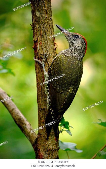 Beautiful green bird Green Woodpecker, Picus viridis