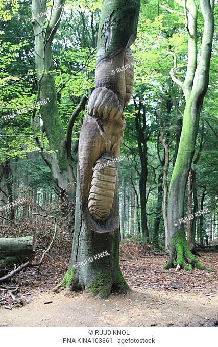 Beech Fagus sylvatica - Speulder- en Sprielderbos, Ermelo, Veluwe, Guelders, The Netherlands, Holland, Europe