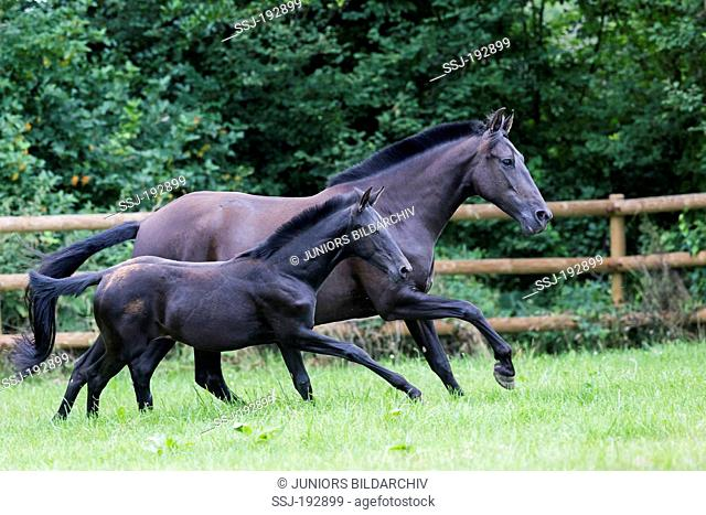Pure Spanish Horse, Andalusian. Black mare with foal galloping on a pasture. Germany