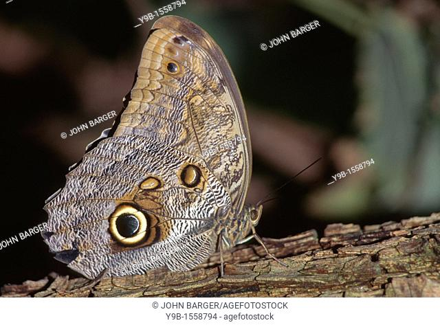 OWL BUTTERFLY Caligo spp  with distinctive eyespot, native to Central and South America