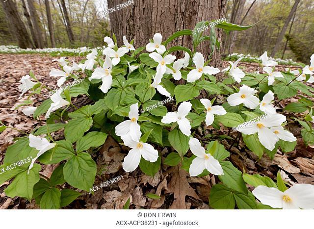 White trilliums Trillium grandiflorum blanket the forest floor in the Spring at Sandbanks Provincial Park, Ontario, Canada