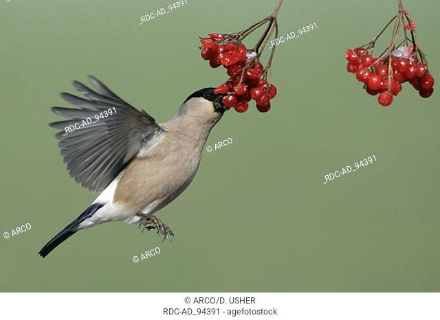 Bullfinch female picking Common Snowball berries Lower Saxony Germany Turdus merula