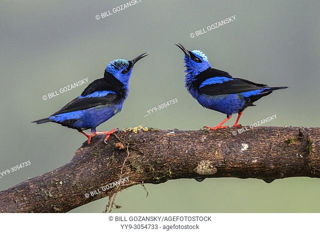 Red-legged Honeycreepers - La Laguna del Lagarto Lodge, Boca Tapada, Costa Rica