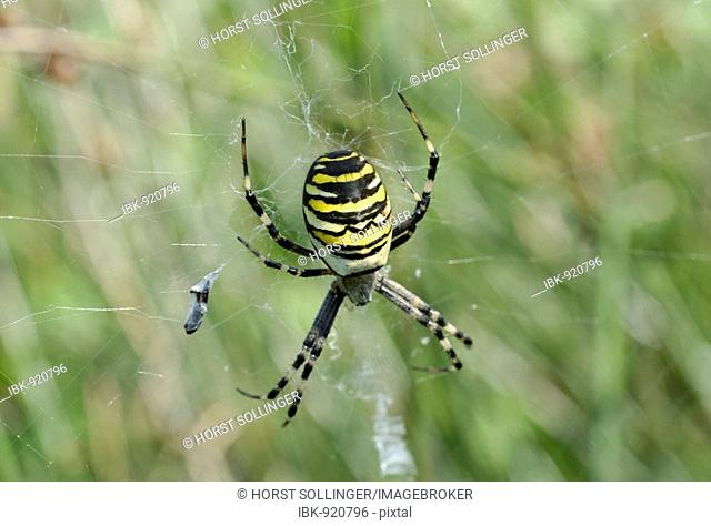 Wasp Spider (Argiope bruennichi) in web with prey