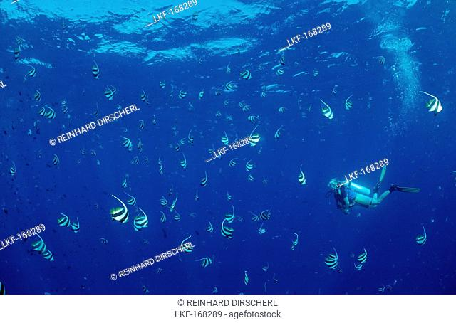 Diver and Pennant Bannerfishes, Heniochus diphreutes, Maldives, Indian Ocean, Meemu Atoll