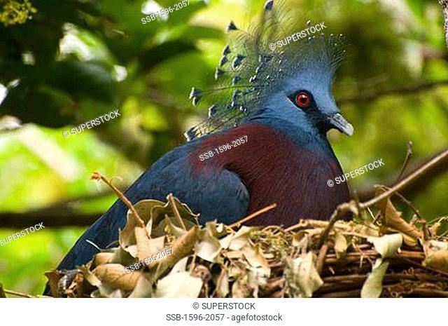 Close-up of a Victoria Crowned pigeon Goura victoria in a nest