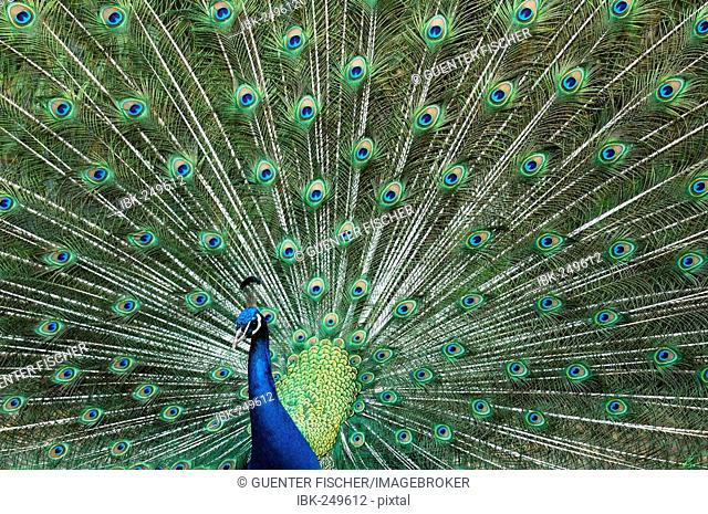 Peacock, Male Indian Peafowl, Blue Peafowl, Pavo cristatus