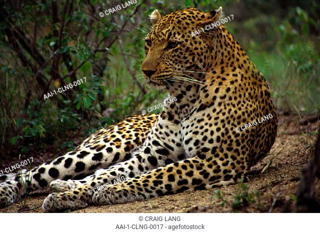 Leopard, Mala Mala, Mpumalanga, South Africa