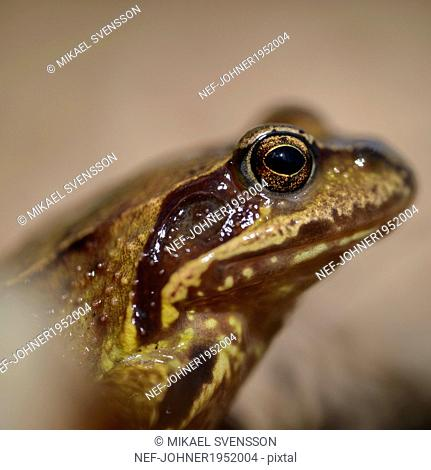Frog, close-up