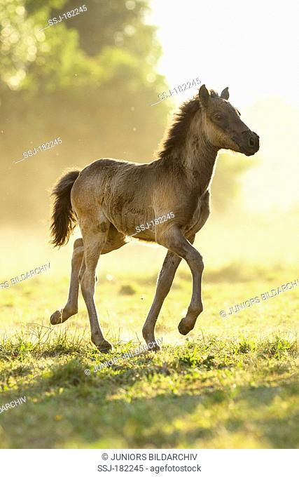 Icelandic Horse. Dun foal on a pasture, toelting