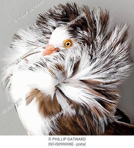Pigeon with ruffled feathers
