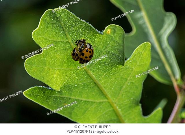 Harlequin ladybird / multicolored Asian lady beetle (Harmonia axyridis) freshly out of its pupa