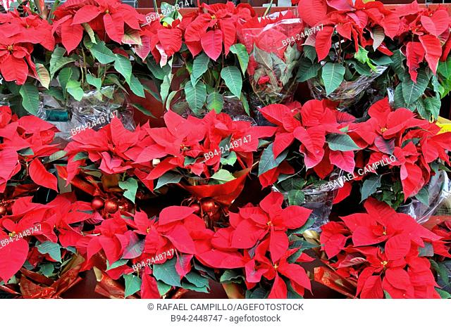 Poinsettias, Christmas plants. Euphorbia pulcherrima. Culturally and commercially important plant species of the diverse spurge family that is indigenous to...