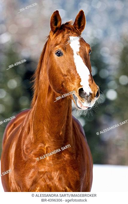 Hanoverian horse with brown reddish fur, snow backdrop, Tyrol, Austria