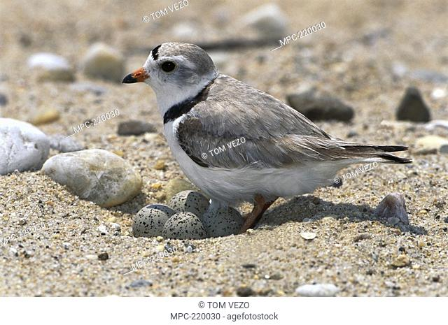 Piping Plover Charadrius melodus, sitting on eggs in nest on ground, Long Island, New York