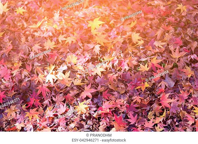 Fallen maple leaf on ground with sunlight effect, natural landscape background