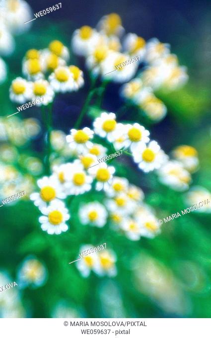 Feverfew daisies. Tanacetum parthenium. July 2006, Maryland, USA
