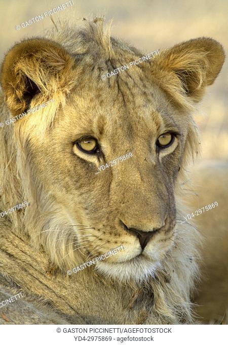 African Lion (Panthera leo) - Young male, Kgalagadi Transfrontier Park, Kalahari desert, South Africa