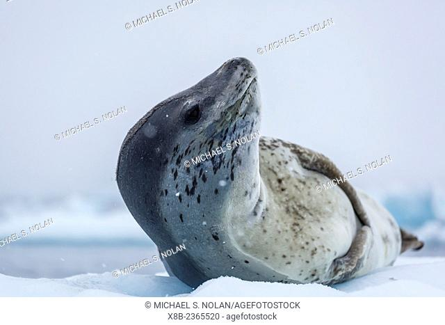 Adult leopard seal, Hydrurga leptonyx, head detail in Paradise Bay, on the western side of the Antarctic Peninsula, Antarctica