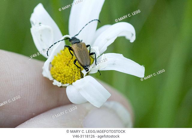 """Anastrangalia sanguinolenta on a daisy. 8â. """"13mm long, active May to August. Life cycle is 2years"""