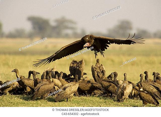 Lappet-faced Vulture (Torgos tracheliotus). Arriving at the carcass of a Burchell's Zebra (Equus burchelli) and the already present White-backed Vultures (Gyps...