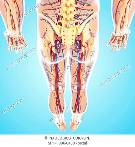 The Bones Of The Lower Body Stock Photos And Images Age Fotostock