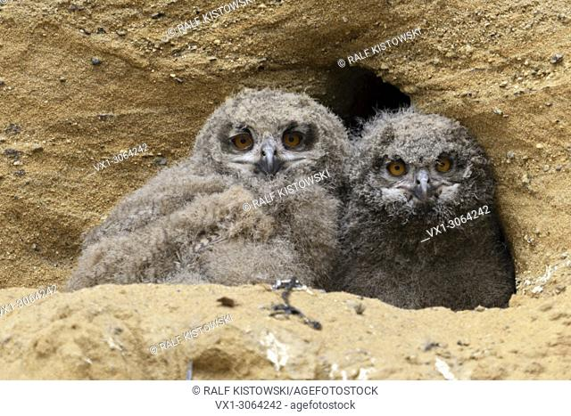 Eurasian Eagle Owls / Europaeische Uhus ( Bubo bubo ), young chicks, in front of their nesting site in a sand pit, watching, wildlife, Europe