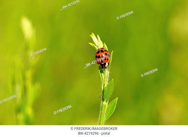 Multicolored Asian lady beetle or ladybug (Harmonia axyridis) sitting on a plant, North Rhine-Westphalia, Germany