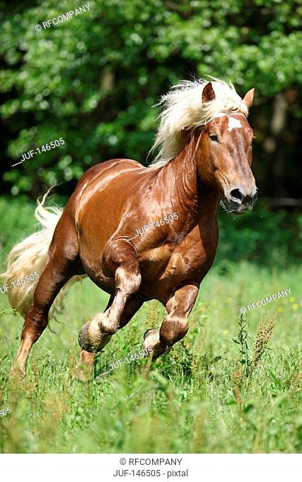 noriker - galloping on meadow