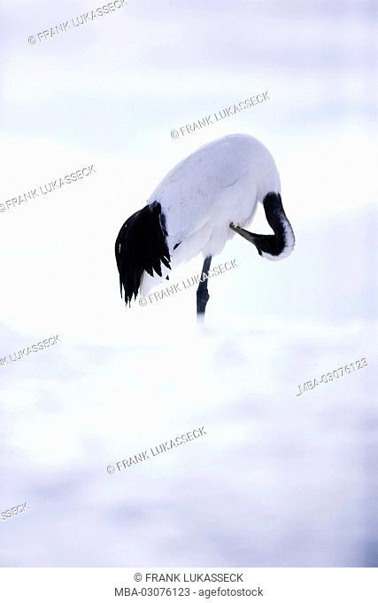 Japan, Manchurian's crane, Grus japonensis, field, snow, preening